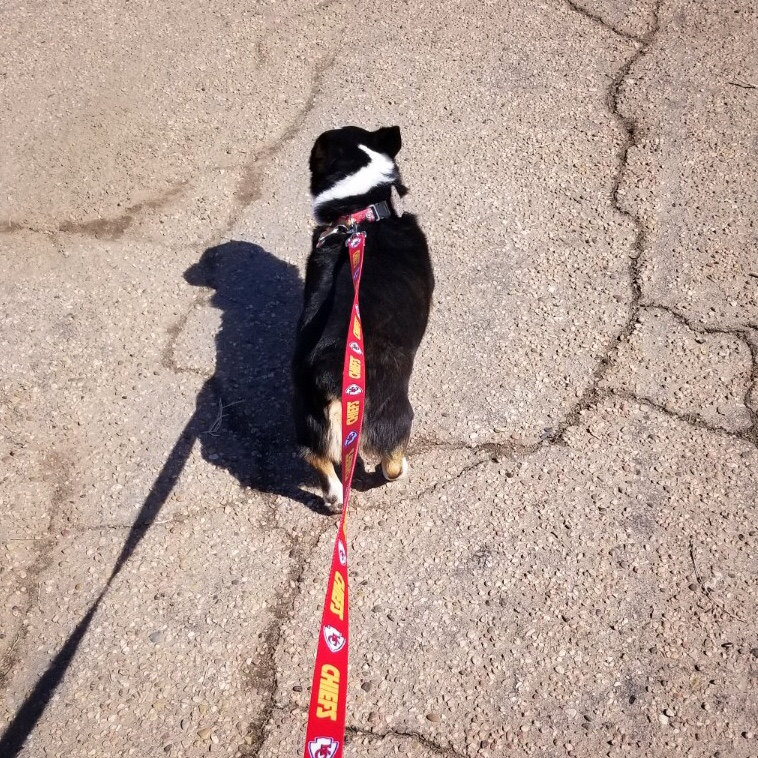 Corgi Walking